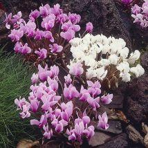 Autumn Flowering Cyclamen hederifolium