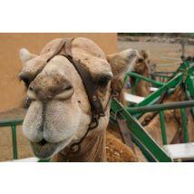 Arteara Camel Park