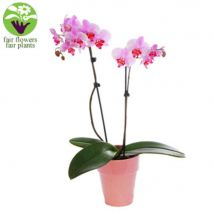 Pink Orchid - flowers