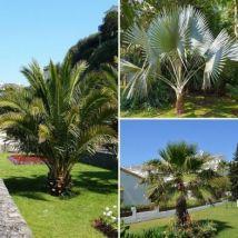Patio Palm Collection - 3x Established Plants