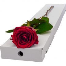 Letterbox Single Huge Headed Red Explorer Rose