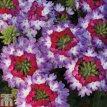 Verbena 'Sparkle Purple'